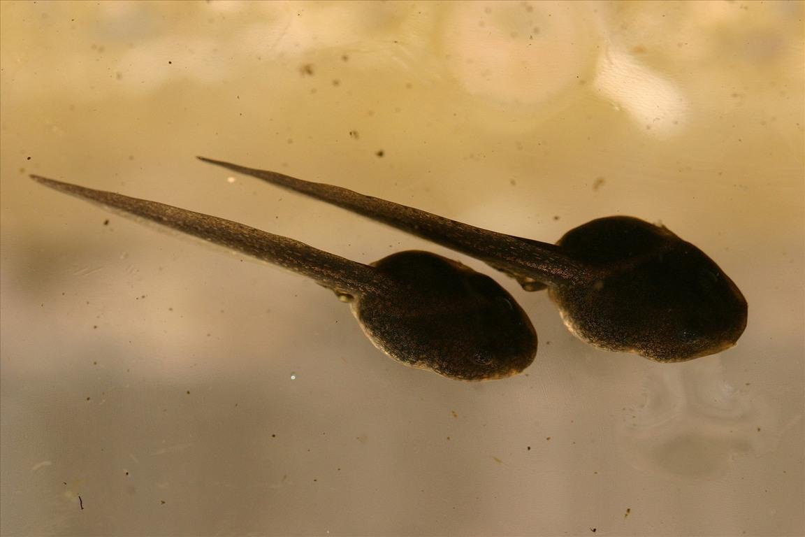 中班科学—《蝌蚪变青蛙》图片